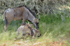 Two blue Wildebeest calves Stock Photos