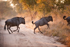 Two BLUE WILDEBEEST (Connochaetes taurinus) Royalty Free Stock Photography