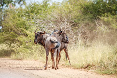 Two Blue wildebeest on the road. Stock Images