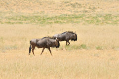 Two blue Wildebeest walking Stock Images