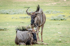 Two Blue wildebeests in the grass. Stock Photo