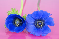 Two blue windflowers on a pink background Stock Photography