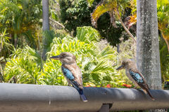 Two Blue Winged Kookaburras Stock Images