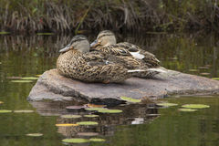 Two blue-winged teals on rock, Limekiln Lake, Adirondack Mountai Stock Images