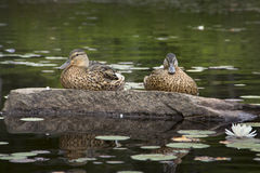 Two blue-winged teals on rock, Limekiln Lake, Adirondack Mountai Stock Photo