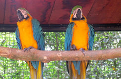 Two Blue and yellow ara parrot Royalty Free Stock Photo