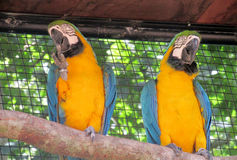 Two Blue and yellow ara parrot Stock Photo