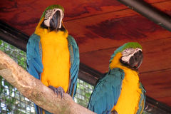Two Blue and yellow ara parrot Royalty Free Stock Image