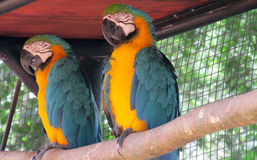 Two Blue and yellow ara parrot Royalty Free Stock Photos
