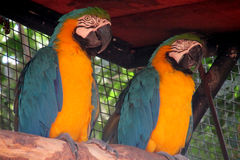 Two Blue and yellow ara parrots Stock Image