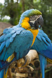 Two blue and yellow macaw in a brazilian park. Two endangered blue and yellow macaw in a brazilian preservation park Royalty Free Stock Photography