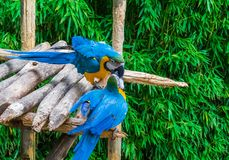 Two blue and yellow macaw parrot birds playing or fighting by putting their beaks into each other. While standing on a wooden structure royalty free stock image