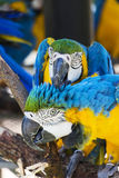 Two Blue and Yellow Macaws Cleaning Each Other Stock Photo