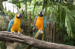 Two blue and yellow macaws. Two resting blue and yellow macaws Royalty Free Stock Photos