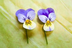 Two Blue and Yellow Pansies Isolated on Green Background Stock Image