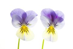 Two Blue and Yellow Pansies Isolated on White Background Stock Photos