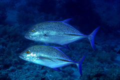 Two Bluefin trevally Royalty Free Stock Images