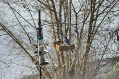 Two Blue Jays at Feeder royalty free stock image