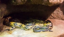 Two boa constrictor snakes together under a rock one with open mouth stock photography