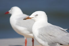 Two Boardwalk Gulls. Two Gulls Standing Side By Side On A Beach Boardwalk Royalty Free Stock Photos