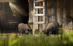 Two boars - pigs in the barn Royalty Free Stock Images