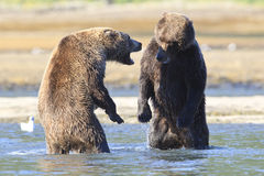Two boars standing on back legs facing off. Two brown bear boars on back legs facing off Stock Photography
