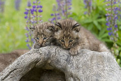 Two Bobcat Kittens Close up Royalty Free Stock Image