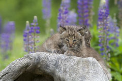 Two Bobcat Kittens Snuggling Stock Photos