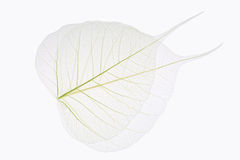 Two bodhi leaves vein Stock Images