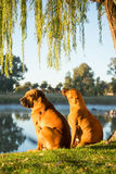 Two Boerbul dogs by river Stock Photos