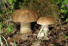 Two boletus Stock Photos
