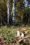Two boletus in a birch forest Royalty Free Stock Photography
