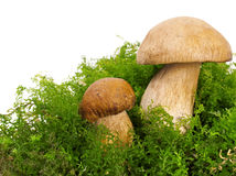 Two boletus edulis Stock Images