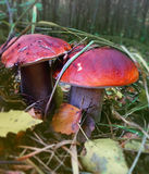 Two boletus in forest close up - mushrooms Royalty Free Stock Photos