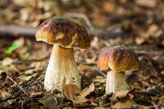 Two boletus mushrooms in deciduous forest Stock Image