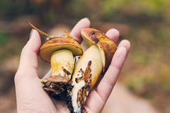 Two boletus mushrooms in the hand. Two brown boletus mushrooms in the hand Royalty Free Stock Image