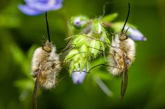 Two Bombylious on a flower. Bombylius is a large genus of flies belonging to the family Bombyliidae, known as the bee-flies, due to their striking resemblance to Stock Photography