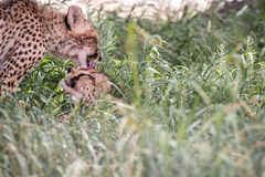 Two bonding Cheetahs. Two bonding Cheetahs in the Kgalagadi Transfrontier Park, South Africa Royalty Free Stock Image