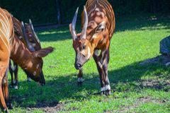 Two Bongo antelopes are pinching the grass on the lawn. royalty free stock photography