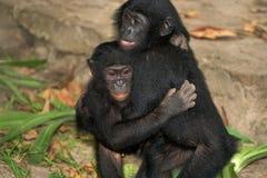 Two Bonobos are sitting on the ground. Democratic Republic of Congo. Lola Ya BONOBO National Park. Stock Images