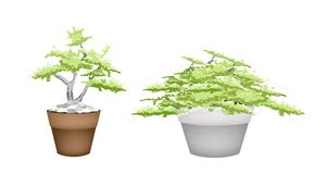 Two Bonsai Tree in Flower Pot on White Background Royalty Free Stock Photography