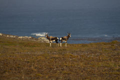 Two Bontebok antelope standing Stock Photos