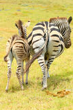 Two  zebra booties Stock Photography