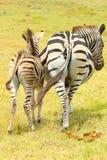 Two  zebra booties Stock Photography