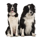 Two Border Collie, 9 years old, sitting Stock Photography
