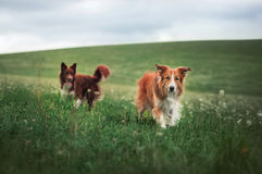 Two border collie dog in a meadow Stock Photography