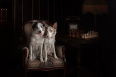 Two Border collie dog merle color in interior studio Royalty Free Stock Images