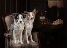 Two Border collie dog merle color in interior studio Royalty Free Stock Photos
