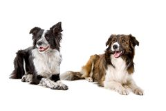 Two Border Collie dogs. Black and tan collie dogs isolated on white background stock photo