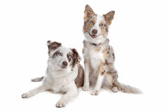 Two border collie dogs. Isolated on white royalty free stock photo